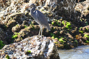 26th Aug 2017 - Reef Heron at Coolum Beach