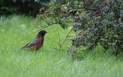 26th Aug 2017 - When the red-red robin comes bob-bob-bobbin' along
