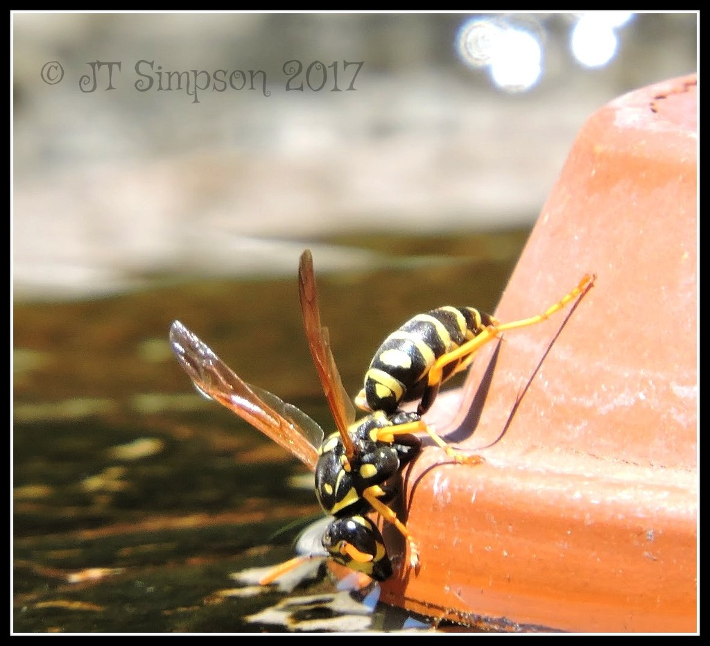 Thirsty Yellow Jacket by soylentgreenpics