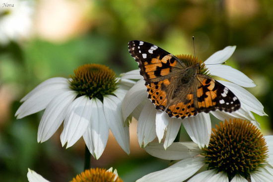 Painted Lady by novab