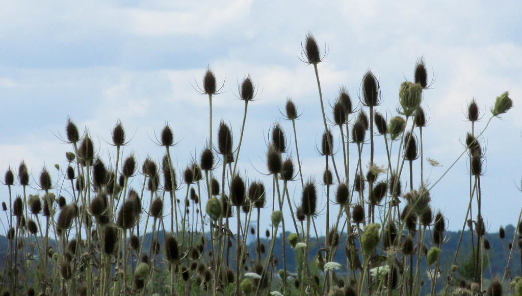 Teasels by mittens