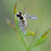 Teenie-Tiny Bee (hover fly) with Droplets! by fayefaye
