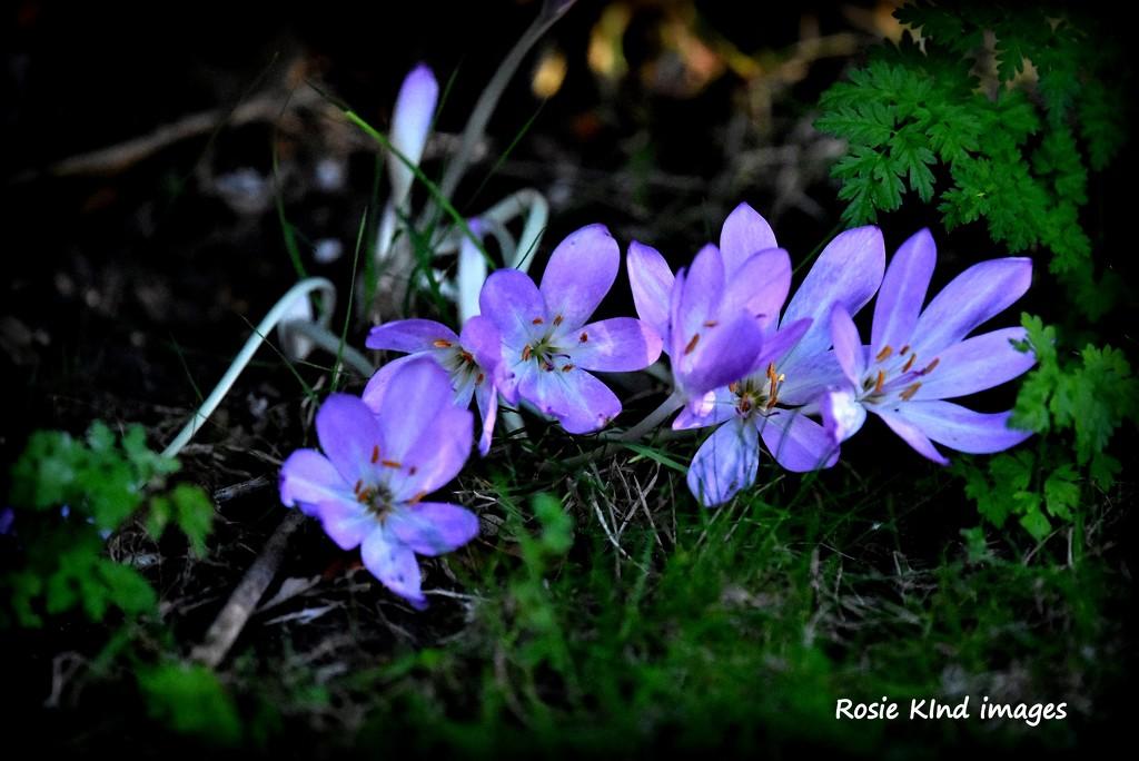 Saffron by rosiekind