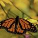 Monarch by skipt07