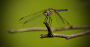 27th Aug 2017 - Dragonfly!