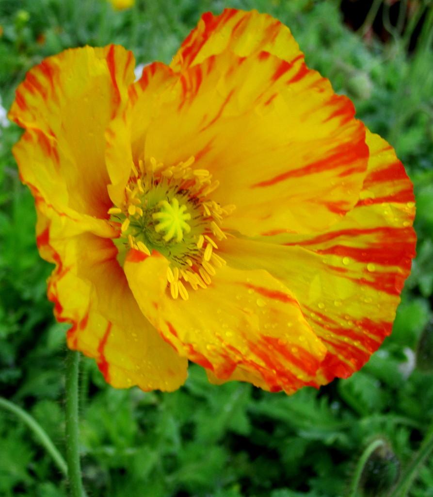 I loved this poppy!! by 777margo
