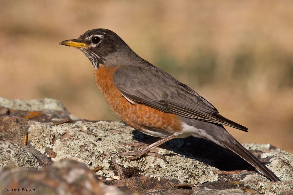 American Robin Poses by laurieewilson