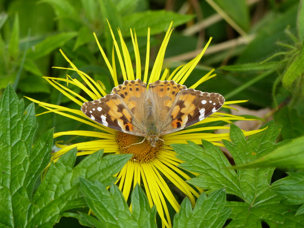 Painted Lady on Yellow Daisy by susiemc