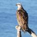 Osprey by hrs