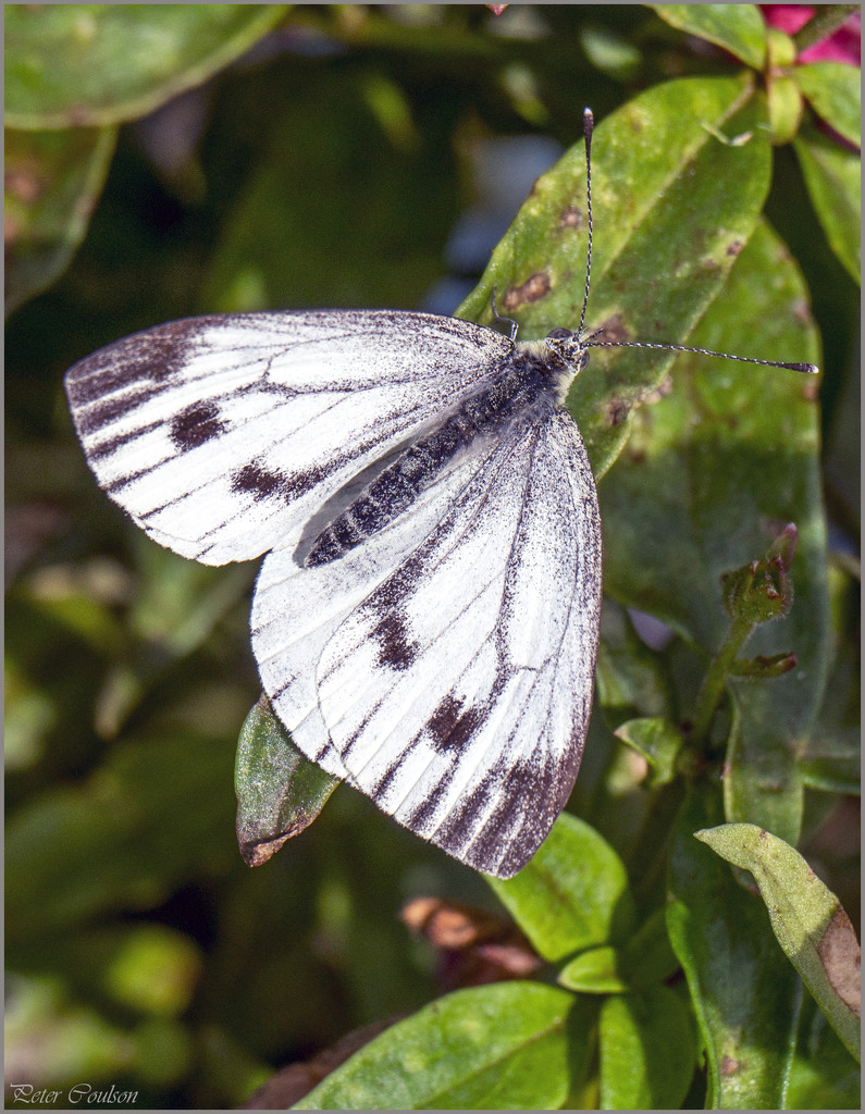 Large White by pcoulson