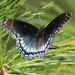 Red-Spotted Purple Butterfly by cjwhite