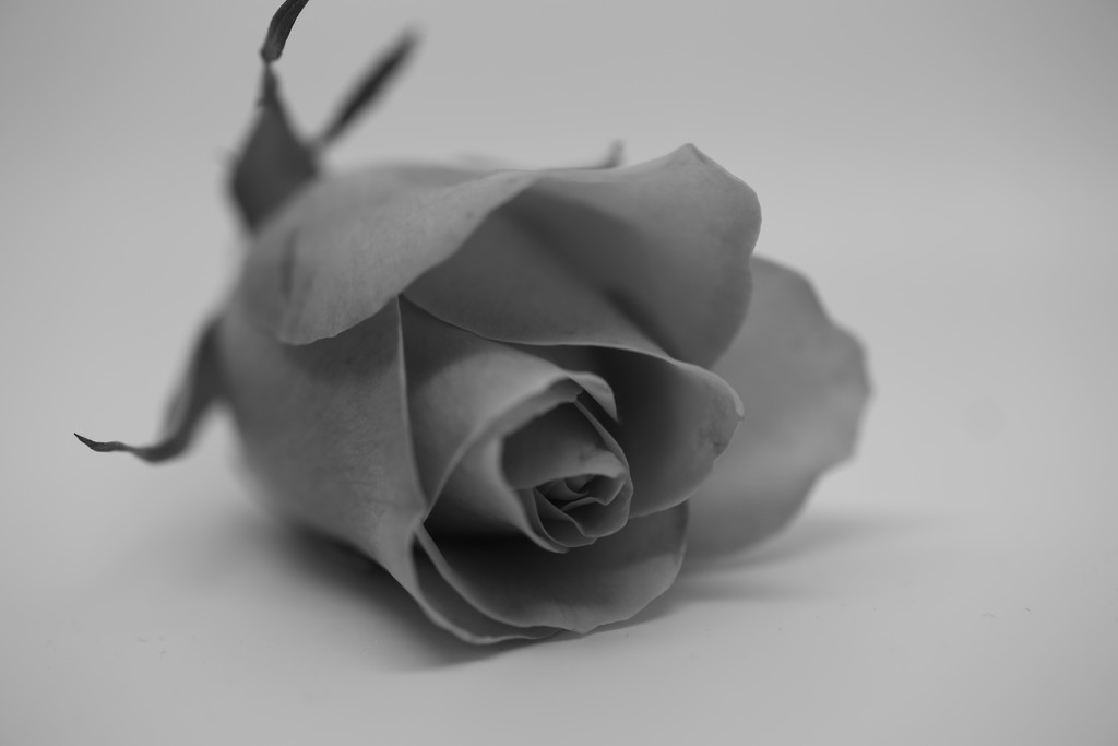 A Rose By any Other Name by phil_sandford