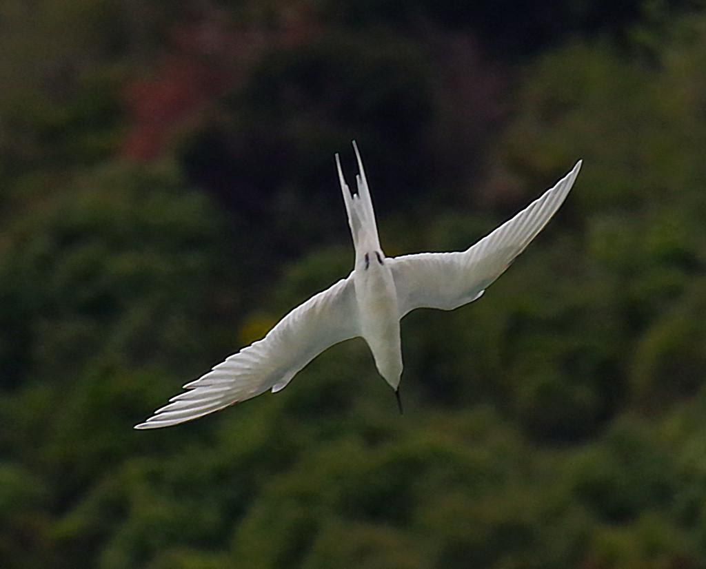 Diving tern by maureenpp