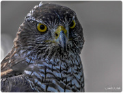 30th Aug 2017 - Falcon
