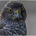 Falcon by carolmw