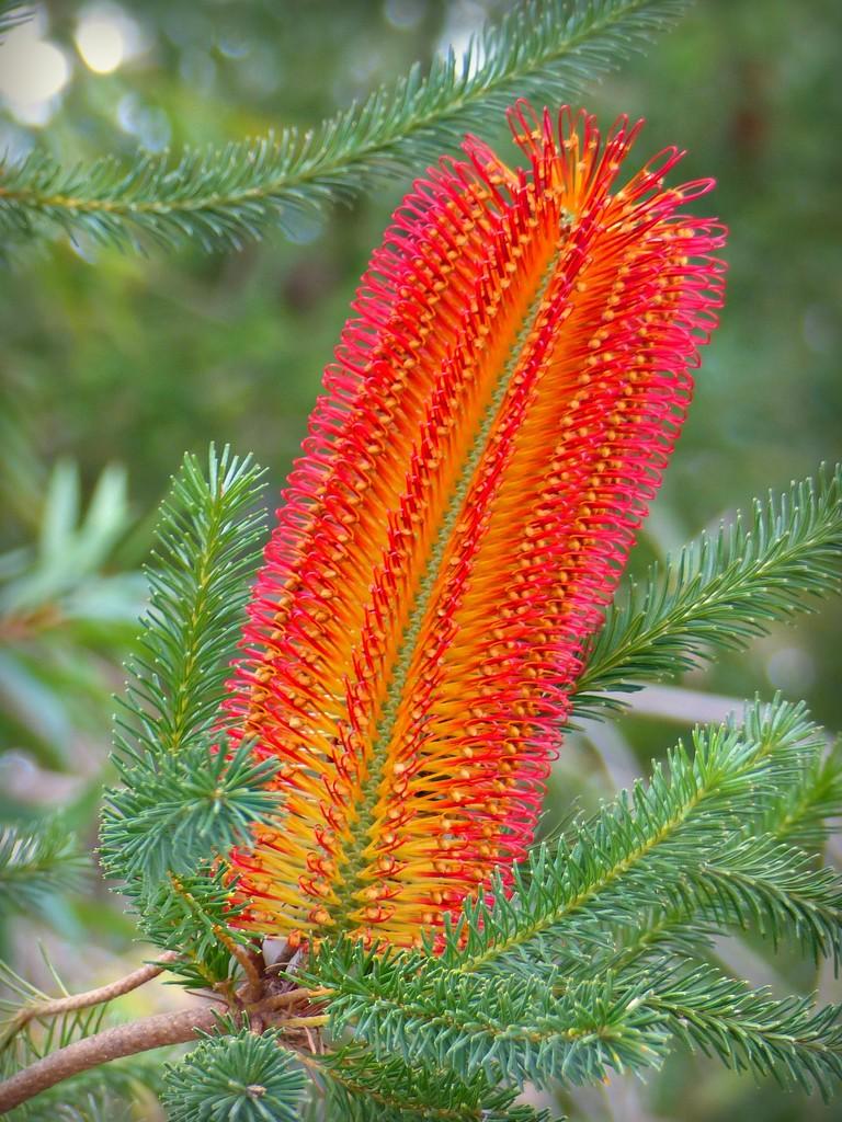 Banksia Ericfolia by judithdeacon