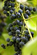 30th Aug 2017 - Purple Grapes