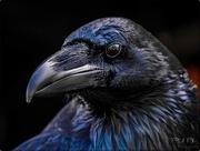 31st Aug 2017 - Raven (Best viewed on black)