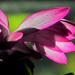 Flaring Fuchsia
