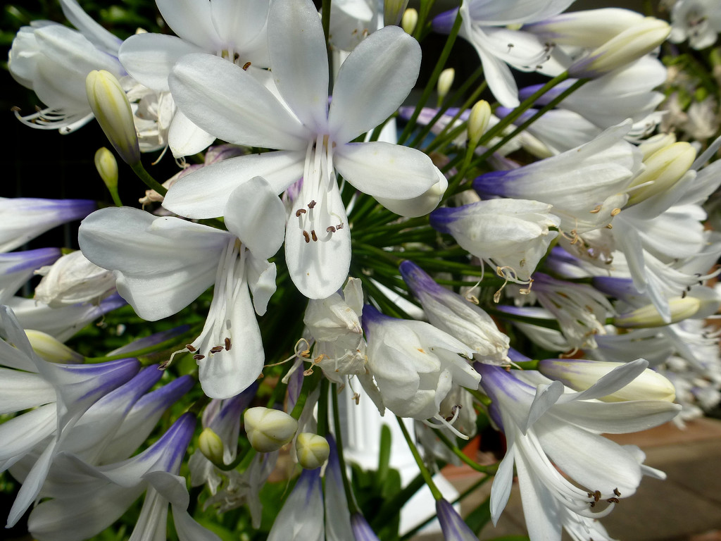 Agapanthus... by snowy