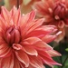 Dahlia Blush by phil_sandford