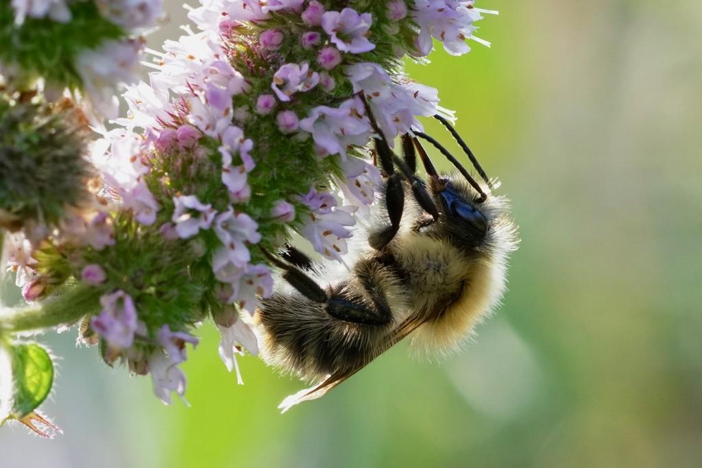 BACKLIT BEE by markp