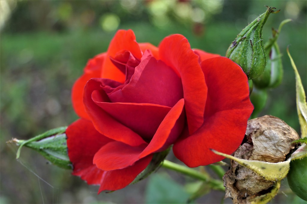 A Red,Red Rose by carole_sandford