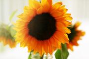 31st Aug 2017 - Sunshiny Sunflower