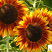 Sunflower Trio by seattlite
