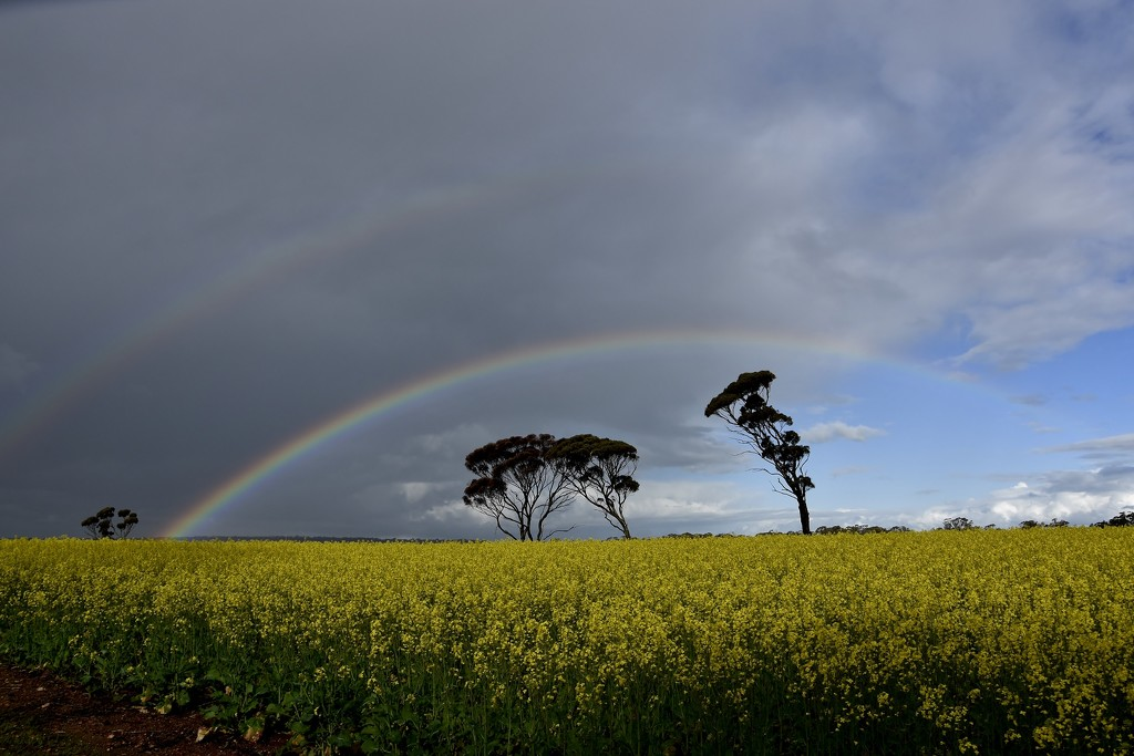 Rainbows Over The Canola Fields..._DSC2282 by merrelyn