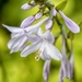 Hosta by pamknowler