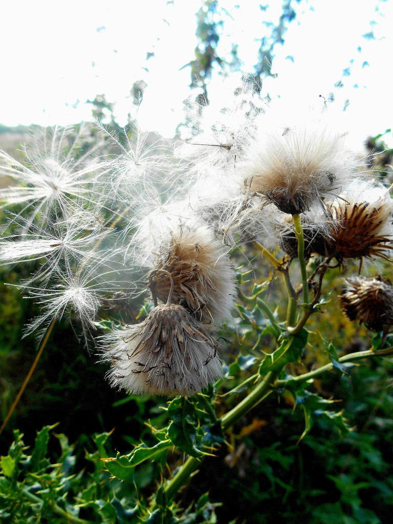 Seeds blowing in the wind... by snowy