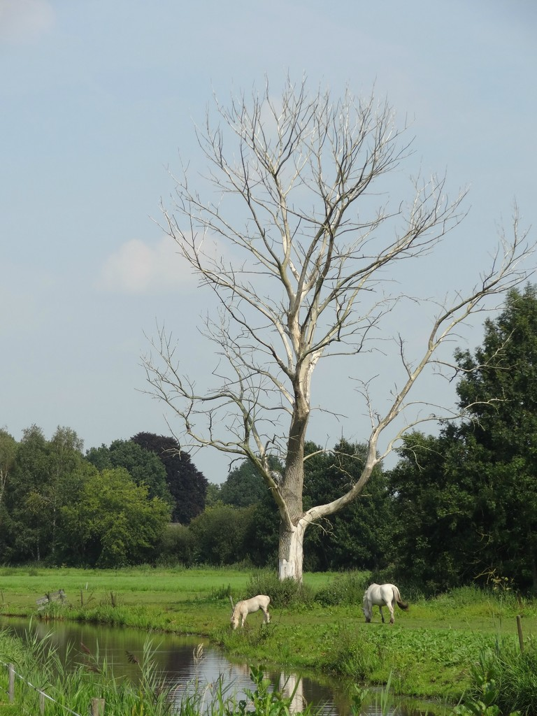 one white tree, two white horses by gijsje