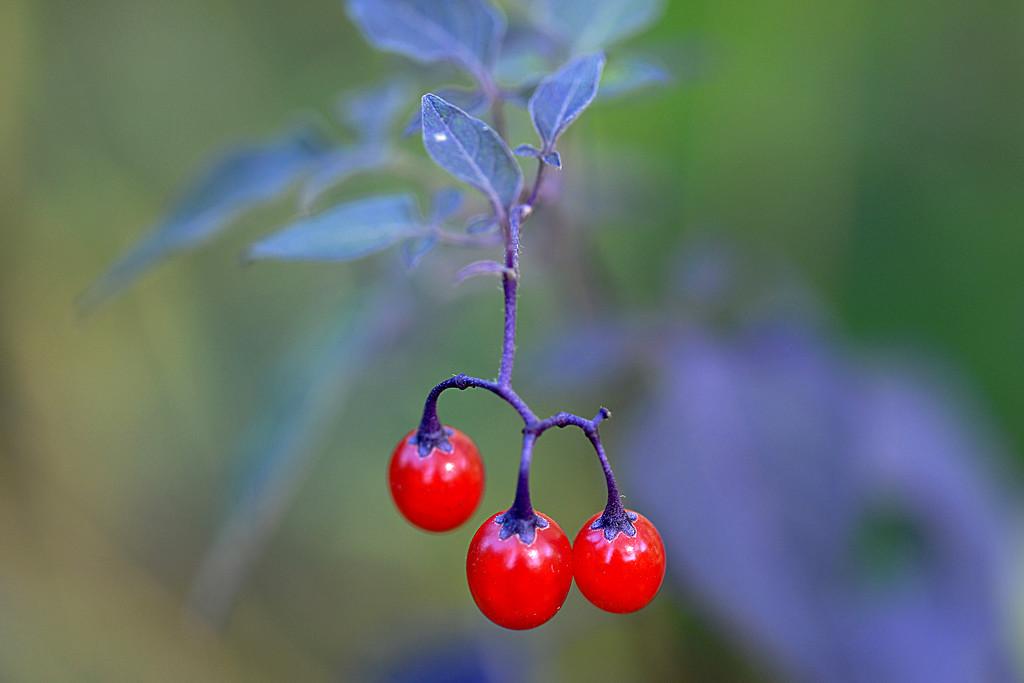 Little red berries! by fayefaye