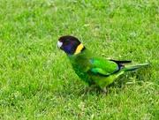 2nd Sep 2017 - 'Twenty-Eight' Parrot