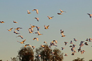2nd Sep 2017 - The Corellas Have Taken Over