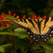 One More Eastern Tiger Swallowtail Butterfly! by rickster549