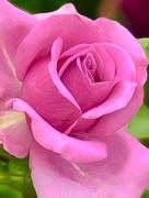 1st Sep 2017 - England's Rose