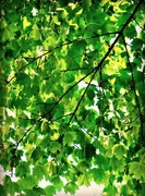 2nd Sep 2017 - Leaf On A Tree