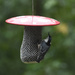 White-breast nuthatch