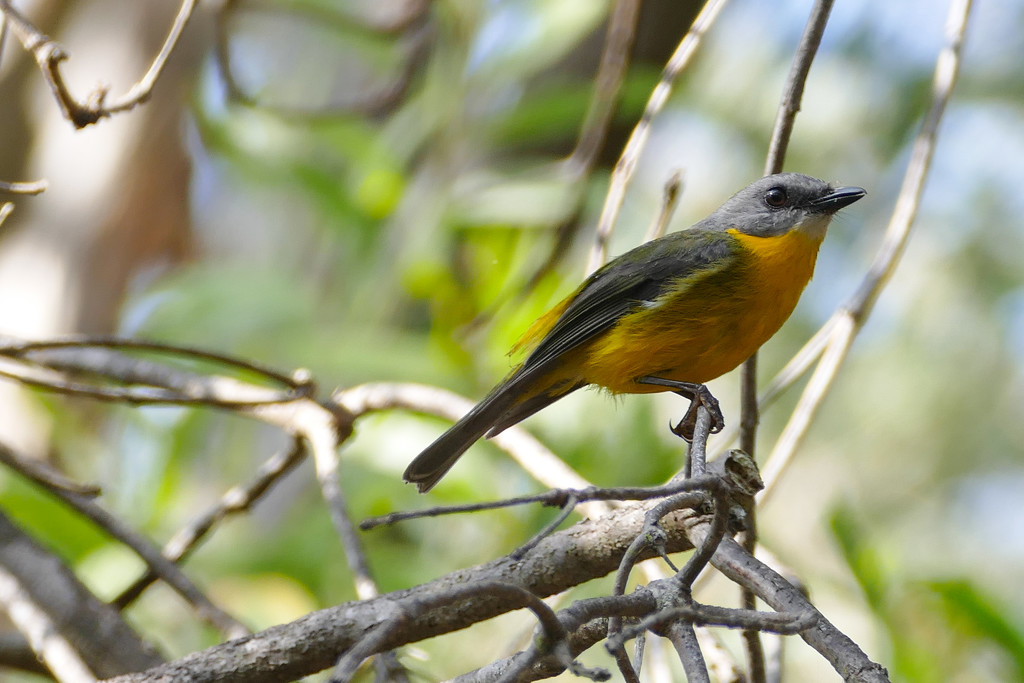 Yellow Robin by hrs