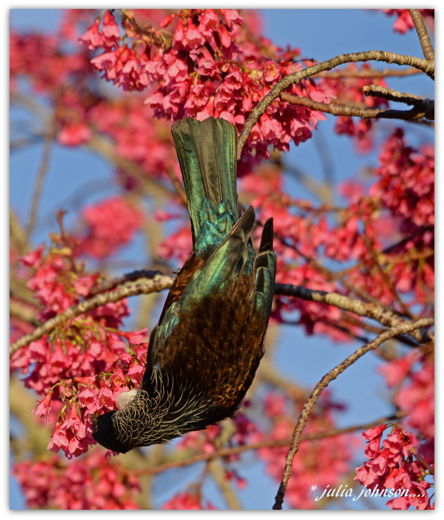 Tui in the Taiwan Cherry ... by julzmaioro