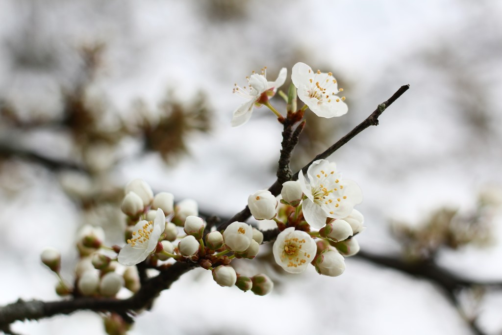 the cherry plum's welcome to spring by wenbow