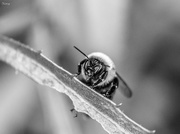 23rd Aug 2017 - Black and white bee