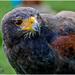 Harris Hawk by carolmw