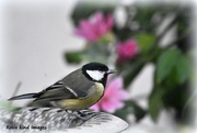 3rd Sep 2017 - My friend the great tit