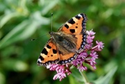 2nd Sep 2017 - SMALL TORTOISESHELL