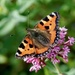 SMALL TORTOISESHELL  by markp