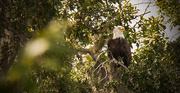3rd Sep 2017 - Bald Eagle on Watch!