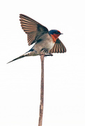 4th Sep 2017 - Swallow on a stick